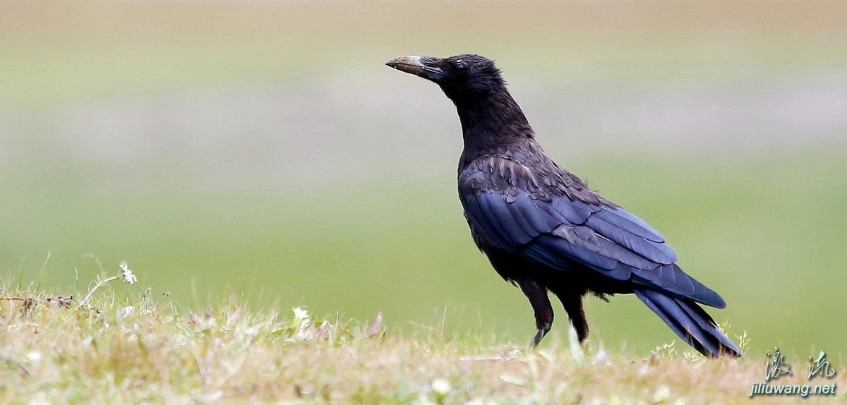 张春桥评胡适:乌鸦不叫了,就是太平盛世的征兆了